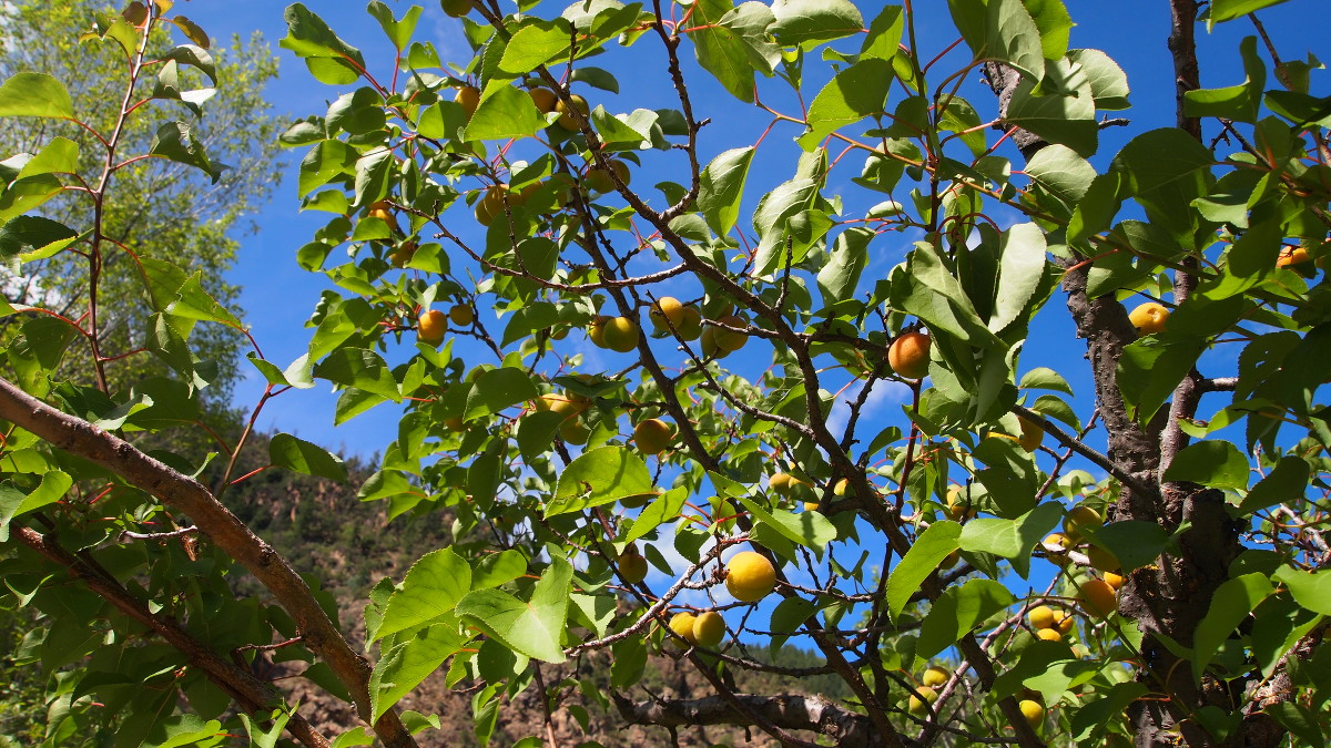 Wild apricot growing along Grizzly creek, Colorado