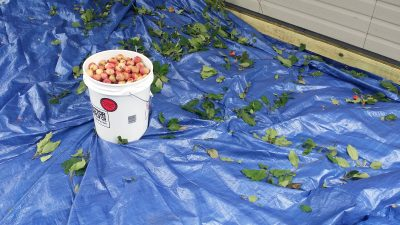 A huge tarp helps to collect the apples