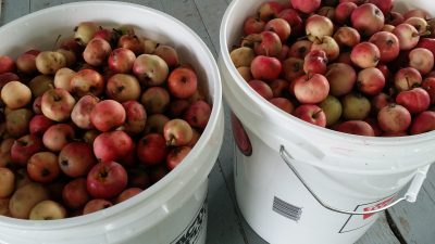 10 gallons of crabapples; halfway there!