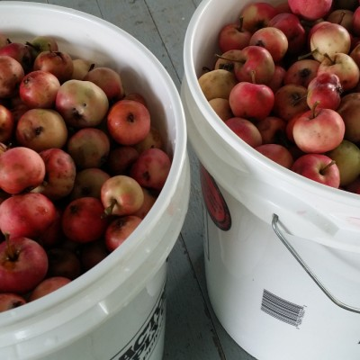 Gallons and gallons of crab apples from our tree.
